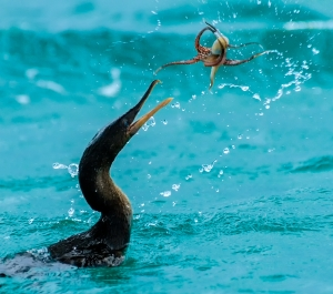 Endemic to the Galapagos Islands, the flightless cormorant has lost the ability to fly but it is superb at catching prey such as this small octopus.