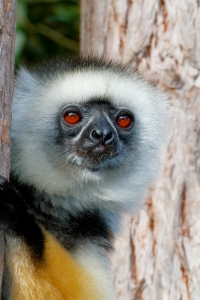 Diademed Sifaka is a critically endangered species of lemur found only in Madagascar.